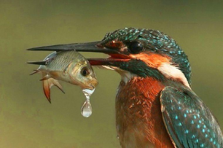 IJsvogel 1 1
