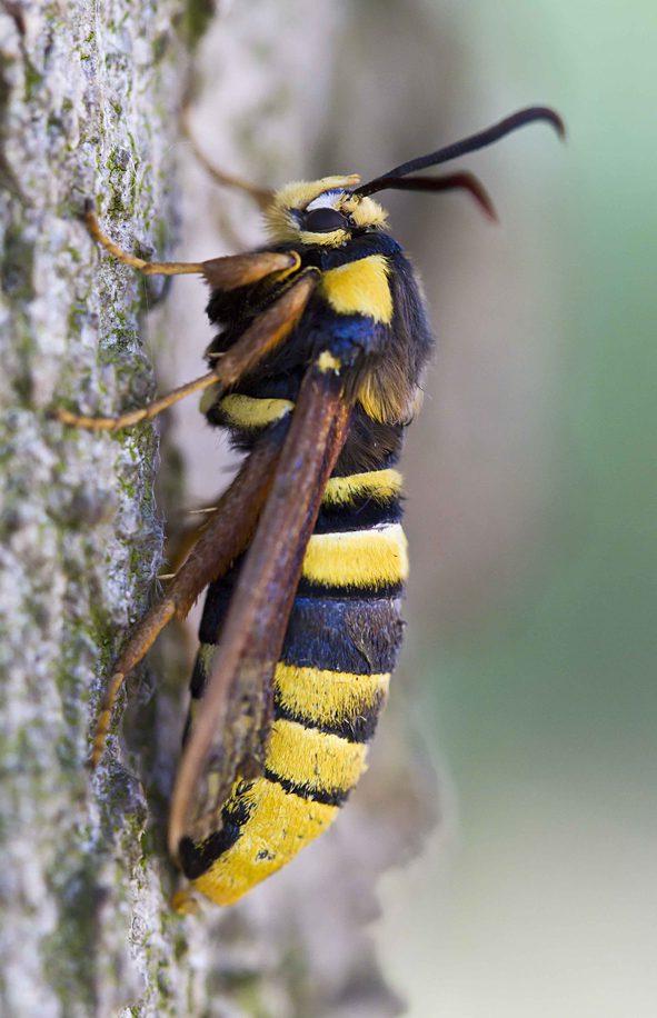 Sesia apiformis Hoornaarvlinder