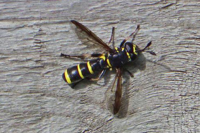 Ceriana conopsoides